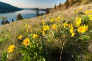 Arrowleaf Balsamroot and Lake Okanagan