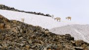 Mountain goats on an icefield