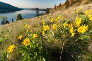Arrowleaf Balsamroot and Lake Okanagan