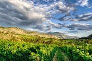 Vineyard in the landscape