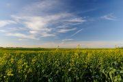 Canola fields under a blue sky