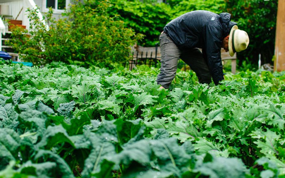 Harvesting kale in an urban garden